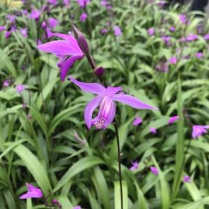 Bletilla 'Yokohama' – Ground Orchid (4.5″ Pot)