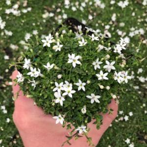 Pratia pedunculata 'Alba' – Super Star Creeper (3.5″ Pot)