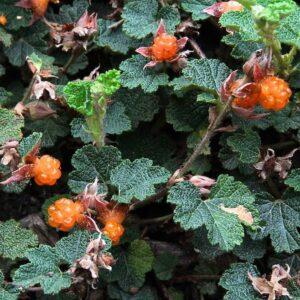 Rubus pentalobus – Taiwan Creeping Berry (3.5″ Pot)