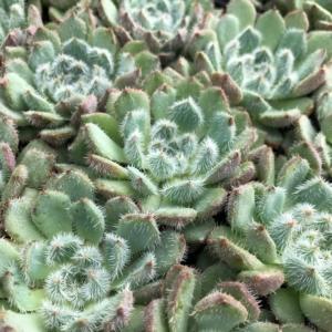 Echeveria setosa var. deminuta (2″ Pot)