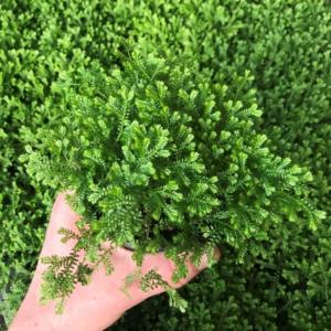 Selaginella kraussiana – Green Spikemoss (4.5″ Pot)