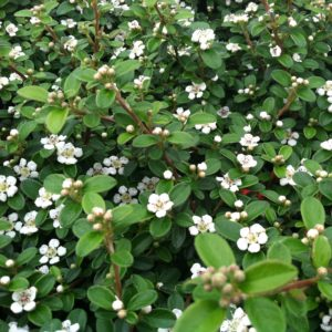 Cotoneaster dammeri 'Coral Beauty' – Bearberry (3.5″ Pot)