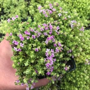Thymus praecox 'Highland Cream' – Highland Cream Thyme (3.5″ Pot)