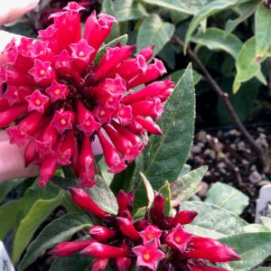 Cestrum newellii 'Ruby Clusters' – Jessamine (4.5″ Pot)