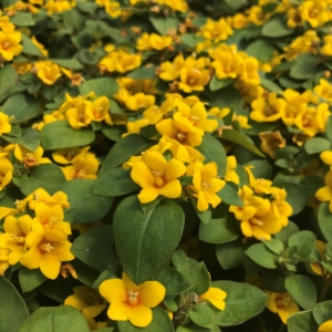 Lysimachia procumbens 'Golden Globes' – Creeping Jenny (3.5″ Pot)