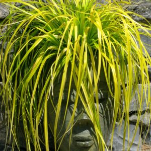 Carex oshimensis EverColor® 'Everillo' – Japanese Sedge USPP #21,002 (4.5″ Pot)