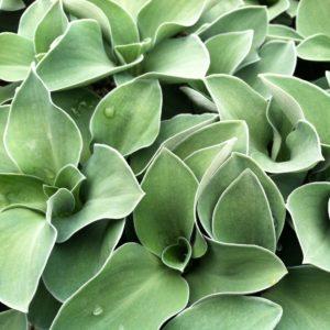 Hosta 'Blue Mouse Ears' – Plantain Lily (3.5″ Pot)