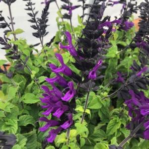 Salvia 'Amistad' – Hummingbird Sage USPP#23,578 (4.5″ Pot)
