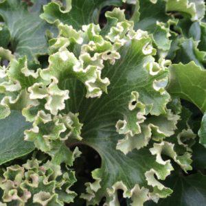 Farfugium japonicum 'Crispata' – Leopard Plant (4.5″ Pot)