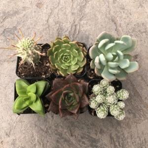 Tender Succulent & Cacti Collection (2″ Pots)