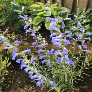 Penstemon heterophyllus 'Electric Blue' – Beardtongue (4″ Pot)