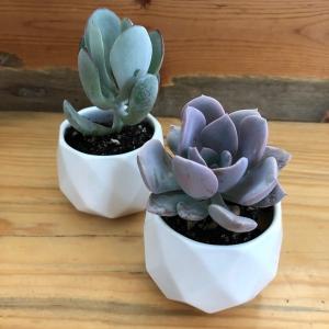 Succulent Duo – 2 Plants + 2 Pots