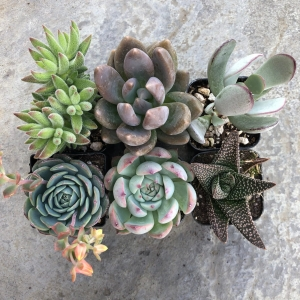 Tender Succulent Collection