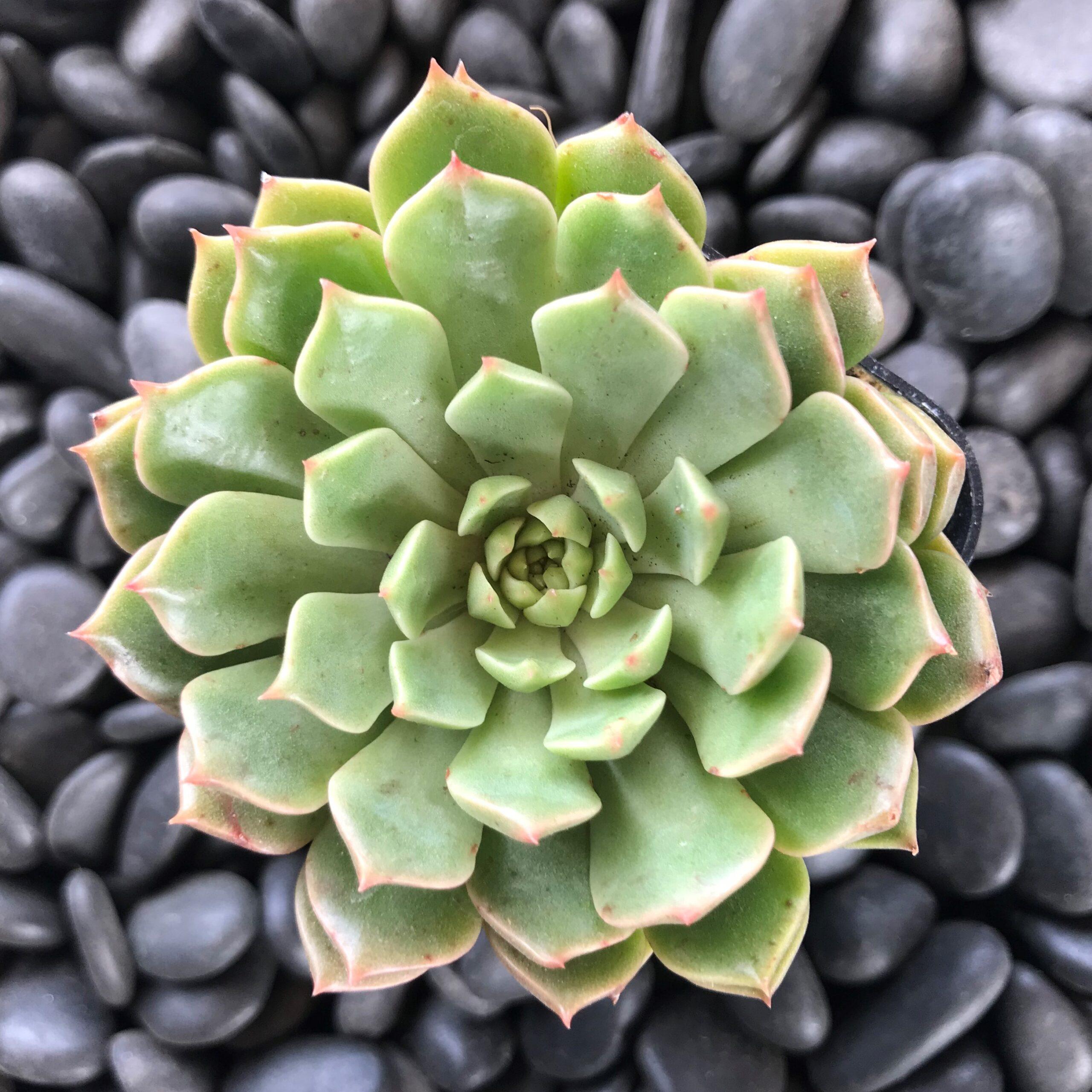2/'/' or 4/'/' Graptoveria Olivia Succulent