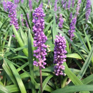 Liriope muscari 'Royal Purple' – Lilyturf (3.5″ Pot)