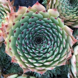 Sempervivum 'Maroon Queen' – Hens & Chicks (3.5″ Pot)