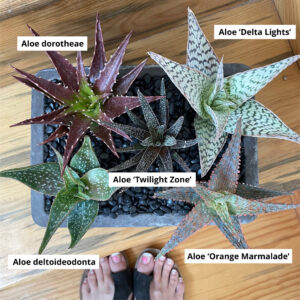 Aloe you very much! Aloe Collection – (4.5″ Pots)