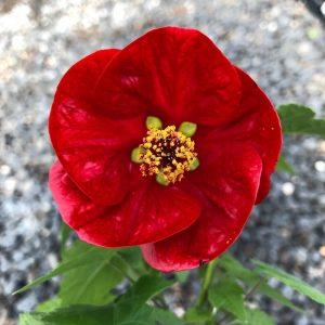Abutilon hybrida – Lucky Lantern® Red (4.5″ Pot)