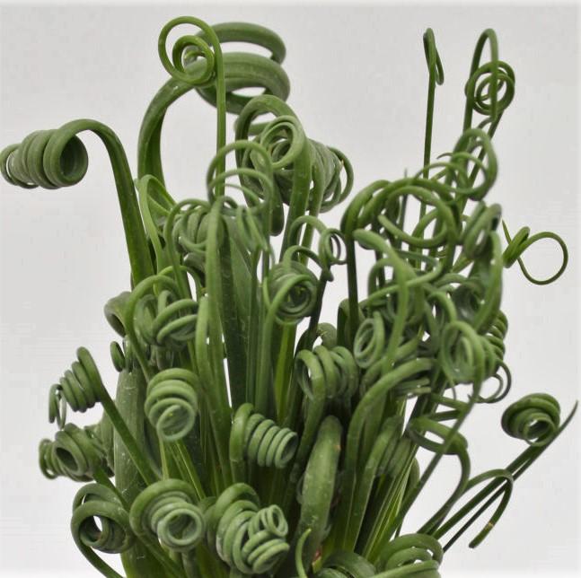 albuca spiralis frizzle sizzle