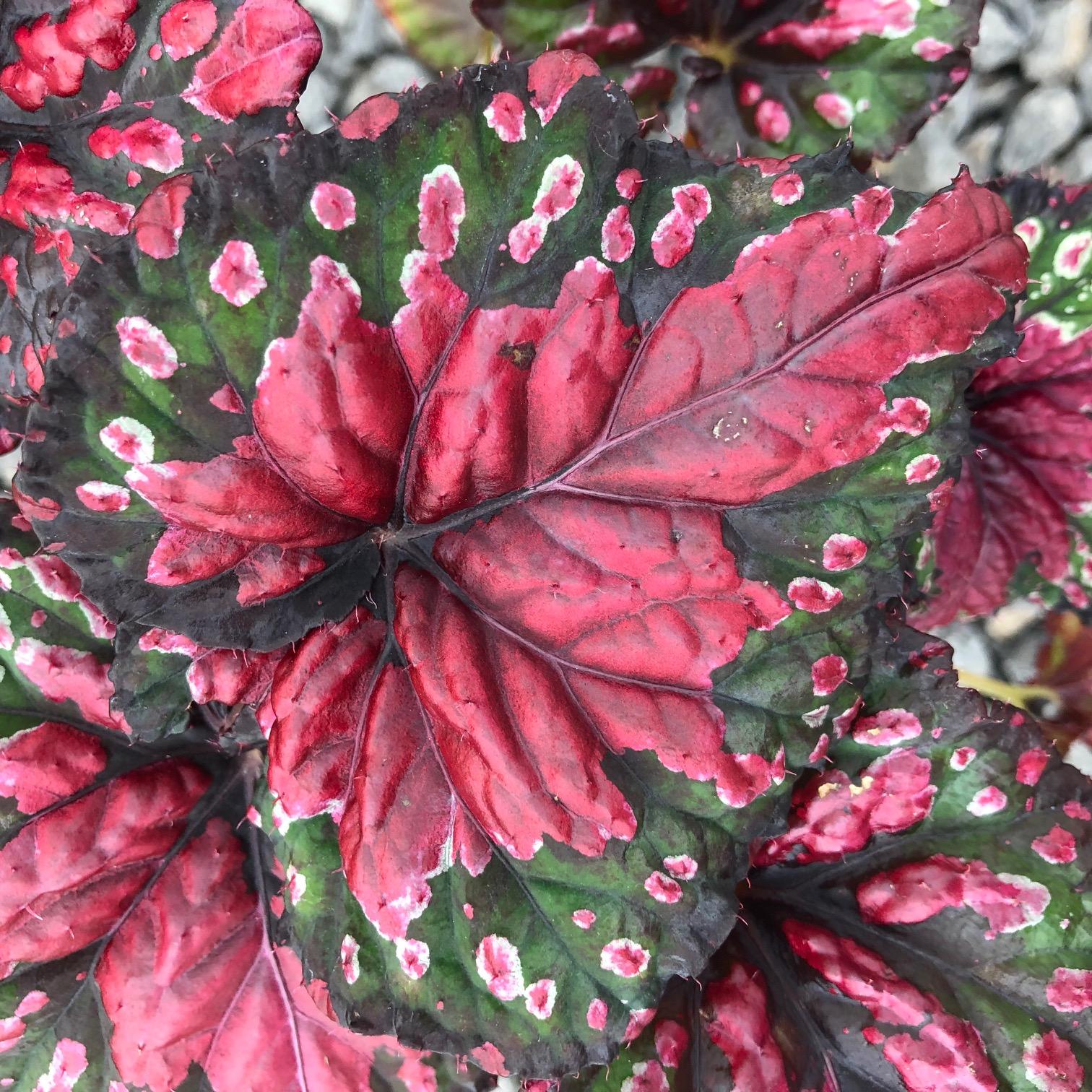 Begonia rex 'Festive Red & Green' (4.5
