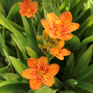 Belamcanda chinensis 'Freckle Face' – Blackberry Lily (4.5″ Pot)