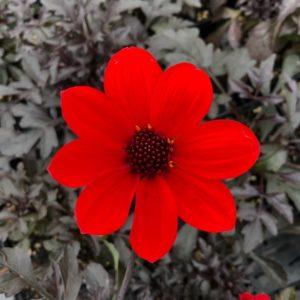 Dahlia 'Mystic Wonder' USPP #24,397 (4.5″ Pot)