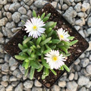 Delosperma 'Oberg' – Ice Plant (3.5″ Pot)