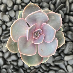 Echeveria 'Perle Von Nurnberg' (2″ Pot)