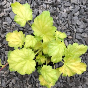 Heuchera 'Havana' – Coral Bells (4.5″ Pot)