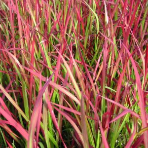 Imperata cylindrica 'Red Baron' – Japanese Blood Grass (3.5″ Pot)