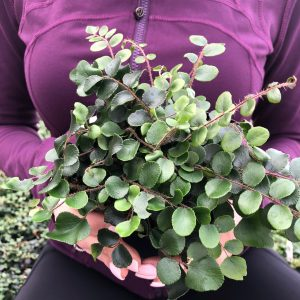 Pellaea rotundifolia – Button Fern (4.5″ Pot)