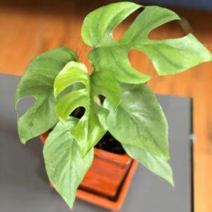 Rhaphidophora tetrasperma – Mini Monstera (4.5″ Pot) RARE