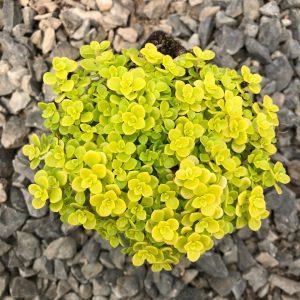 Sedum makinoi 'Ogon' – Golden Japanese Stonecrop (3.5″ Pot)