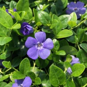 Vinca minor 'Bowles' – Blue Periwinkle  (3.5″ Pot)